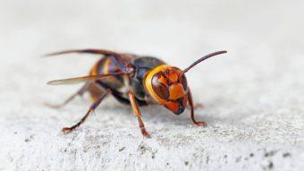 スズメバチに遭遇のアイキャッチ画像