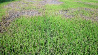 稲につく害虫(トビイロウンカ)が大量発生のアイキャッチ画像