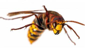 皆様、スズメバチの時期がやってきたようですのアイキャッチ画像